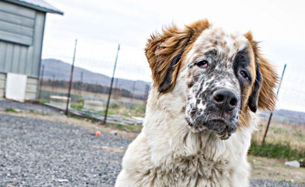 SPCA Monteregie dog